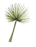 Imatge descriptiva d'una fulla de Washingtonia